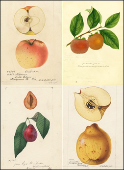 Composite of four botanical images: Each links to a downloadable 300-dpi version