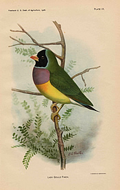 Lithographic plate of a drawing of a Lady Gould Finch