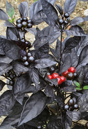Black Pearl pepper plant.