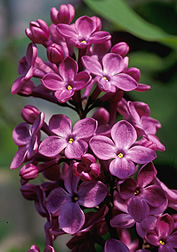 "Flores de lila ""Declaration"""