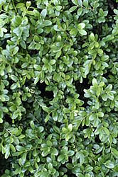 Close-up of boxwood foliage.