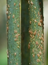 Close-up of Ug99 stem rust on wheat.