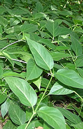 Close-up of pale swallow-wort plants.