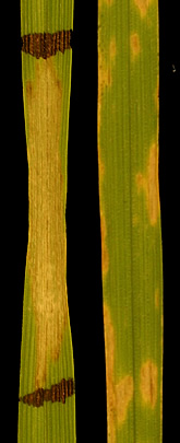 Photo: The susceptible wheat leaf at left was exposed to a purified form of ToxA, while the leaf at right was exposed to the fungus Stagonospora nodorum, which makes the toxin. Link to photo information
