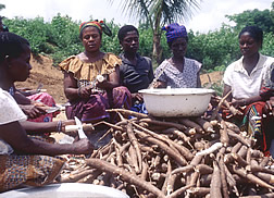 Several Ghanaian women peel cassava.