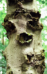American beech tree with large, woundlike cankers caused by pathogenic Neonectria fungi.