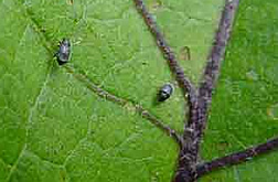 Eggplant flea beetles on  leaves.