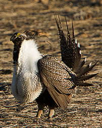 A male sage grouse flaunts his feathers and puffs his chest. Link to photo information
