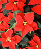 Poinsettias. Link to photo information