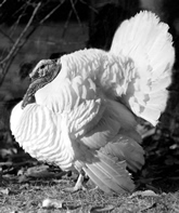 The Beltsville Small White turkey. Link to photo information
