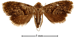 New species of Dichrorampha moth.