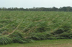 Field of lodged sugar cane as a result of Hurricane Katrina.