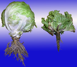 A head of healthy lettuce next to one with corky root disease. Link to photo information