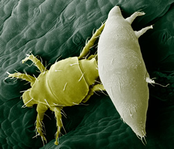 Broad mites on a pepper leaf.