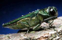 Emerald ash borer adult.