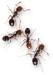Red imported fire ants. Link to photo information