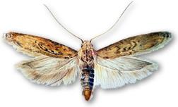 Tuber moth.