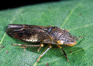 Glassy-winged sharpshooter on grape leaf. Link to photo information