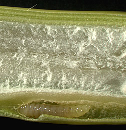 Tetramesa romana larva chews its way through a cross section of Arundo donax stem. Link to photo information