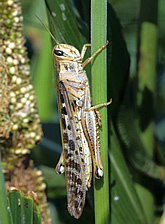 American grasshopper on pearl millet.