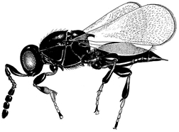 Drawing of Synopeas wasp.