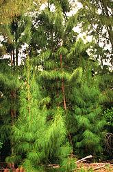 Photo: Australian pine trees (Casuarina equisetifolia).