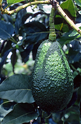 Photo: Avocado in a tree.