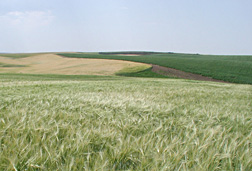 Photo: Clearwater barley field.