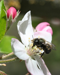 Photo: Blue orchard bee on apple bloosom.