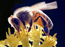 Photo: Honey bee on flower