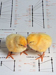 Photo: Chicks standing on a DNA map. Link to photo information