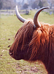 Photo: Highland cow