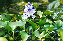 Photo: Water hyacinth. Link to photo information
