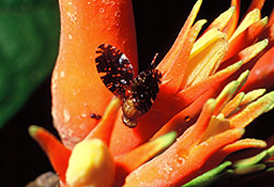 Photo: Fruit fly on male Gurania spinulosa Cogn flower.