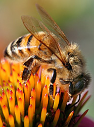 Photo: Honey bee on flower.