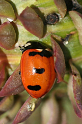 Photo: Transverse lady beetle