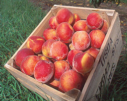Photo: Peaches. Link to photo information.