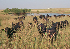 Photo: Herd of cattle grazing in tall grass in front of a pond.