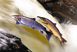 Photo: Atlantic salmon.