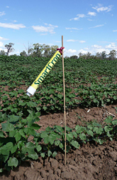 Phot SmartCrop sensor monitoring cotton plants.