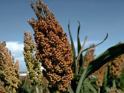 Photo: Sorghum heads.