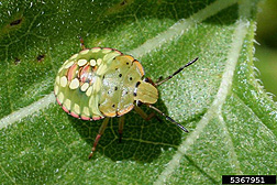 Photo: Southern green stink bug.