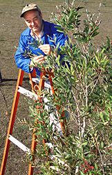 Photo: ARS researcher Ted Center examining melaleuca. Link to photo information