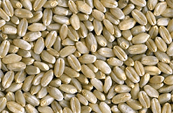 Photo: Grains of hard white winter wheat.