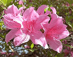 Photo: Azalea flower.