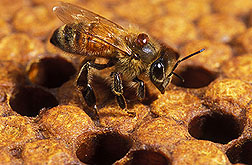 Photo: Honey bee with varroa mite. Link to photo information