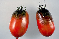 Photo: Tomatoes showing signs of late blight.