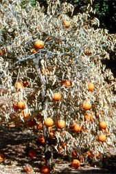 Photo: Citrus tree with citrus tristeza virus.