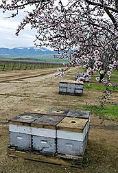 Photo: Rows of managed honey bee colonies in an almond orchard.