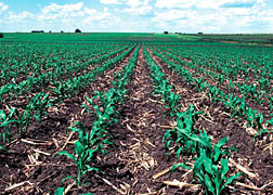 Photo: Rows of corn growing up through residues from the previous growing season.